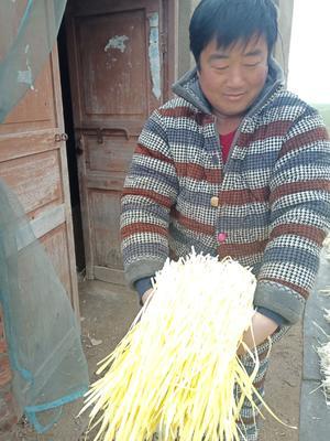 江苏省徐州市丰县黄金韭 头茬 40~50cm