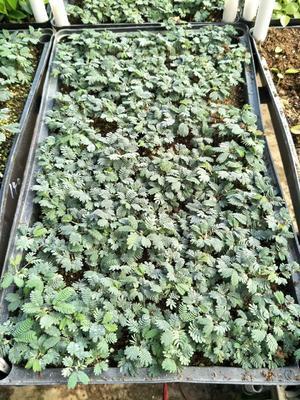 广东省佛山市三水区金合欢  银叶金合欢种苗