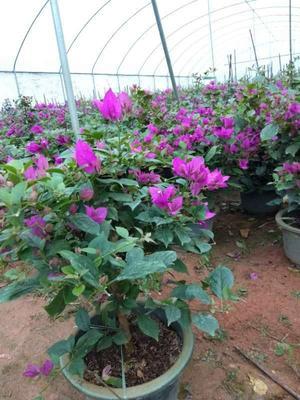 福建省漳州市龙海市紫花三角梅  0.5~1.0米 本地紫三角梅