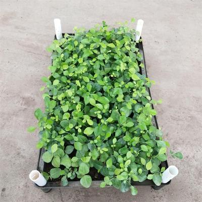 广东省佛山市三水区千里香  九里香种苗 常绿植物