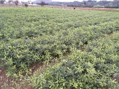 这是一张关于香橙苗 嫁接苗 0.5米以下 的产品图片