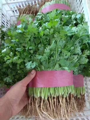这是一张关于大叶香菜 20~25cm 的产品图片