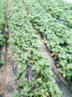 江苏省南通市海门市奶油草莓 20克以上