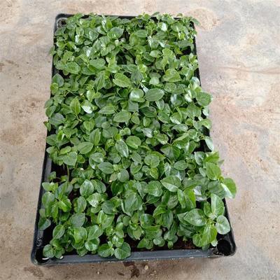 广东省佛山市三水区澳洲鸭脚木 批发优质大叶伞种苗