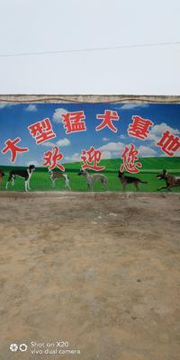 山东省济宁市梁山县拉布拉多犬