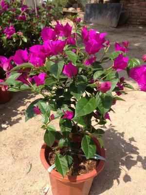 福建省漳州市龙海市紫红三角梅  0.5~1.0米 云南紫三角梅
