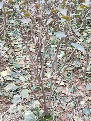 四川省宜宾市翠屏区大红三角梅 0.2~0.5米