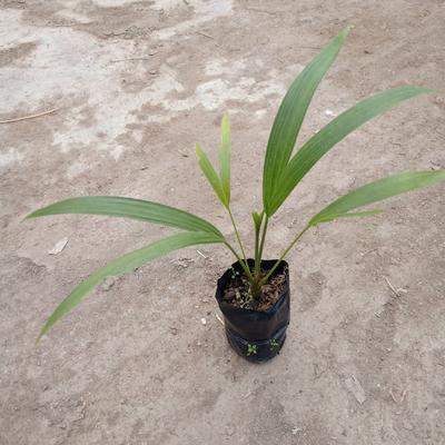 广东省佛山市三水区椰子苗 国王椰子杯苗