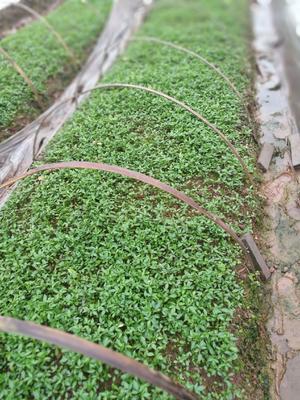 这是一张关于九叶青花椒苗  天知椒,大小苗,杯苗的产品图片