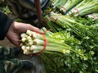 这是一张关于黄心芹 60cm 0.5斤以下 大棚种植 的产品图片