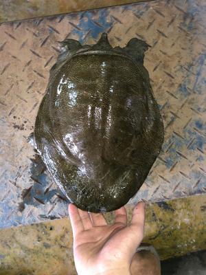 广东省广州市萝岗区生态甲鱼