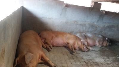 四川省宜宾市宜宾县非洲豪猪 20-30斤