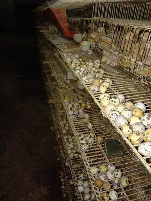 江西省赣州市全南县黄羽鹌鹑蛋 食用 散装