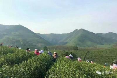 浙江省湖州市长兴县新工艺白茶 一级 盒装