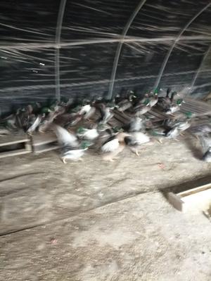 江苏省苏州市张家港市绿头鸭 2-3斤