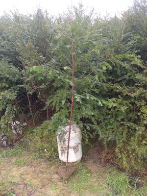 广西壮族自治区桂林市兴安县南方红豆杉 1.5~2米