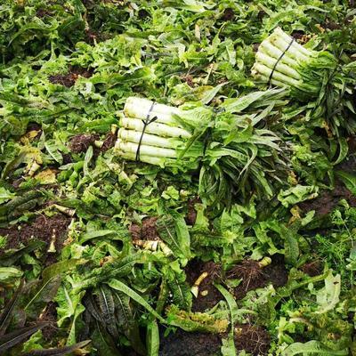 广西壮族自治区桂林市雁山区红叶莴笋 1.5~2.0斤 50-60cm