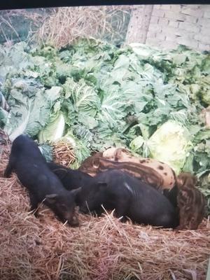 河北省石家庄市正定县黑山猪 统货 120斤以上