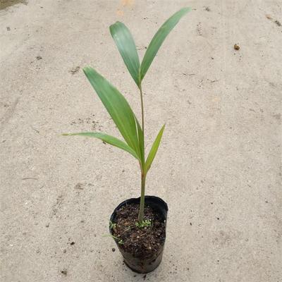 广东省佛山市三水区椰子苗  狐尾椰子苗棕榈科植物