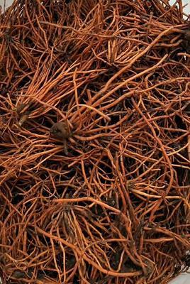 红根野蚕豆苗 野生根仿生根