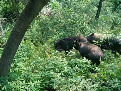 江西省新余市分宜县特种野猪  160斤以上 统货 无公害绿色产品