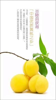 湖南省株洲市炎陵县炎陵黄桃 55mm以上 4两以上