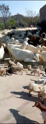 这是一张关于肉羊 50-80斤 的产品图片
