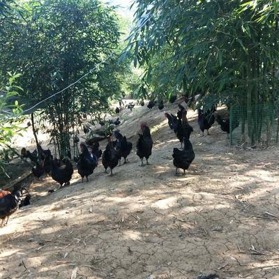 四川省宜宾市珙县山地乌骨鸡 9-10斤