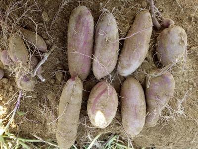 山东省日照市东港区紫罗兰紫薯 3两~6两
