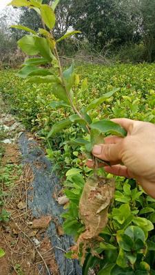 广西壮族自治区钦州市灵山县油茶苗 营养杯苗,发货