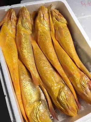 黑龙江省牡丹江市绥芬河市泰国野生大黄花鱼 野生 1-1.5公斤