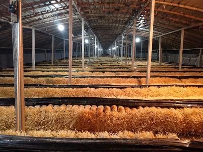 河南省濮阳市台前县黄金针菇 未开伞 1cm以下 15cm以上 一级