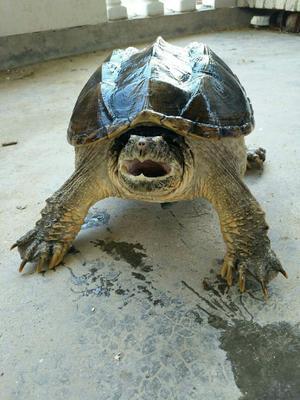 这是一张关于鳄鱼龟 的产品图片