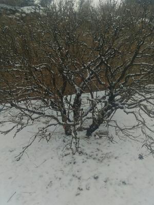 甘肃省临夏回族自治州广河县牡丹树 3~3.5米 20cm以上 18~20cm