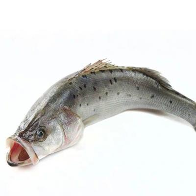 江苏省连云港市赣榆区海鲈鱼  人工养殖 1-1.5公斤 海边养殖8两到1斤