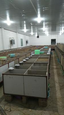 江西省赣州市瑞金市竹鼠 2-4斤