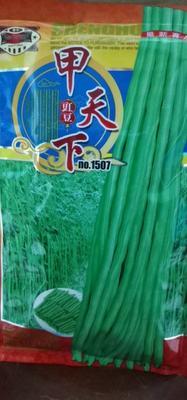 四川省成都市成华区油青豆角种子  甲天下 杂交品种