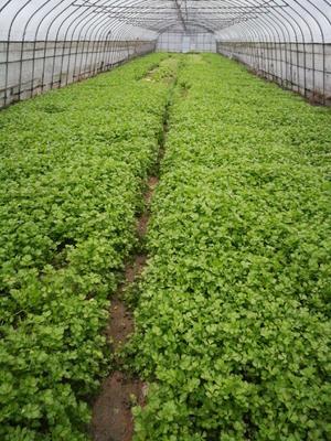 上海奉贤区香芹 40cm以下 0.5斤以下 大棚种植
