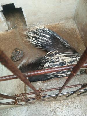 贵州省毕节市七星关区长刺豪猪 30-40斤