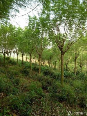 广东省江门市台山市红皮榕 米径6~20cm都有