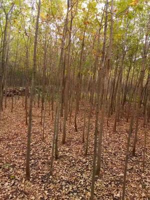 山东省枣庄市滕州市老式白蜡 3.5~5米