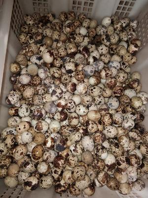 广西壮族自治区玉林市博白县黄羽鹌鹑蛋 食用 箱装