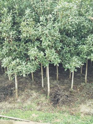 桂花树 八月桂