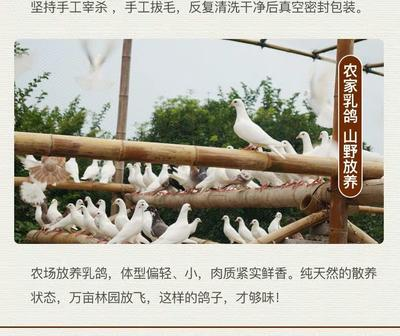 云南省大理白族自治州巍山彝族回族自治县土鸽子 400-500克
