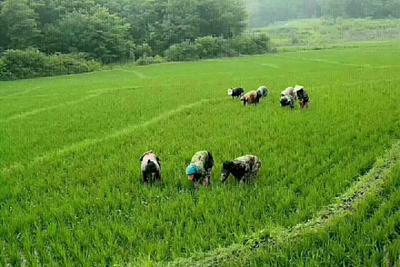 吉林省吉林市舒兰市黑水稻 中稻/一季稻