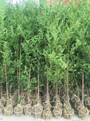湖北省恩施土家族苗族自治州利川市南方红豆杉 2.0~2.5米