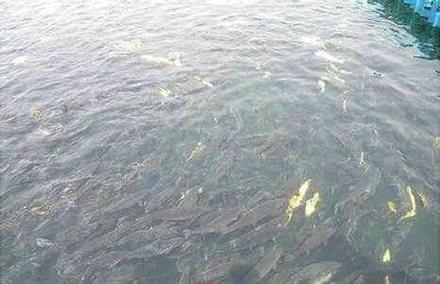 山东省临沂市临沭县白鲢鱼 人工养殖 1-2.5公斤