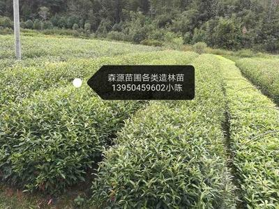 福建省三明市清流县山杜英