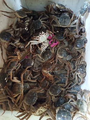 山东省滨州市滨城区清水小龙虾 4-6钱 人工殖养