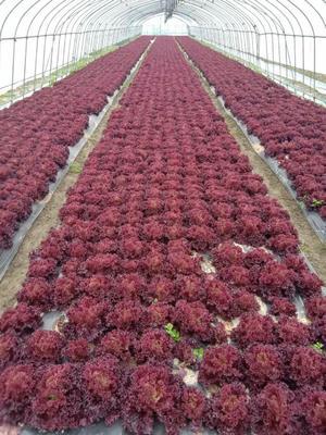 上海嘉定区红叶生菜 5~6两